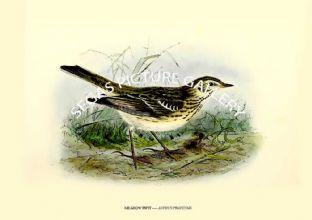 MEADOW PIPIT ---- ANTHUS PRATENSIS